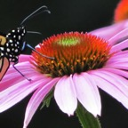 Monarch on bee balm - Version 2