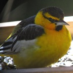 rare Bullocks Oriole - Version 2